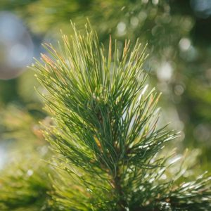 Produkte aus Arvenholz / Zirbenholz