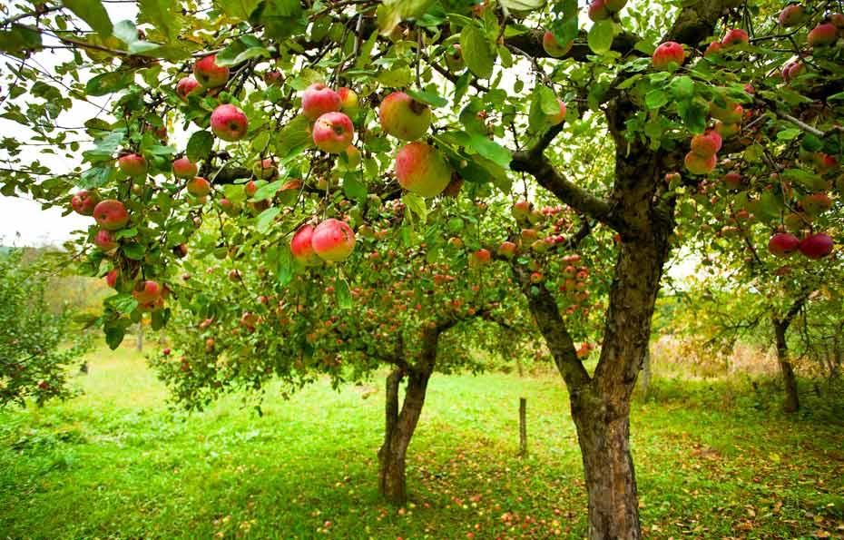 Apfelbaum-mit-Früchten
