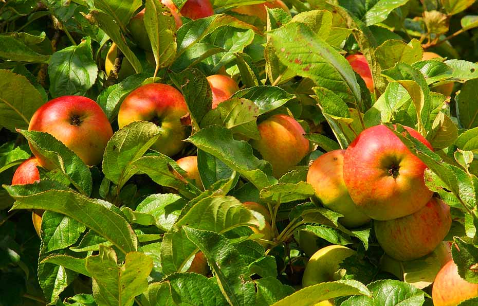 Apfelbaum_Früchte