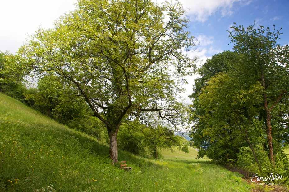 Grosser Nussbaum in Wiese, mit Bank
