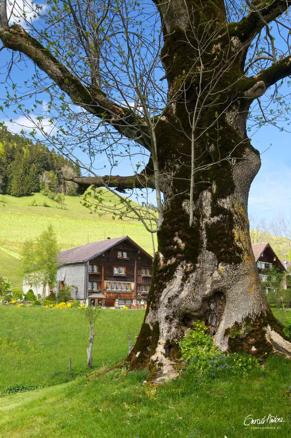 Alte Esche in der Nähe eines Bauernhofs im Appenzell, Schweiz