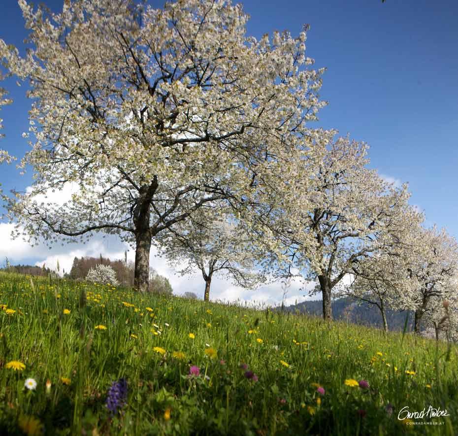 Blühende Feldkirschbäume in Blumenwiese, im Voralberg, Österreich