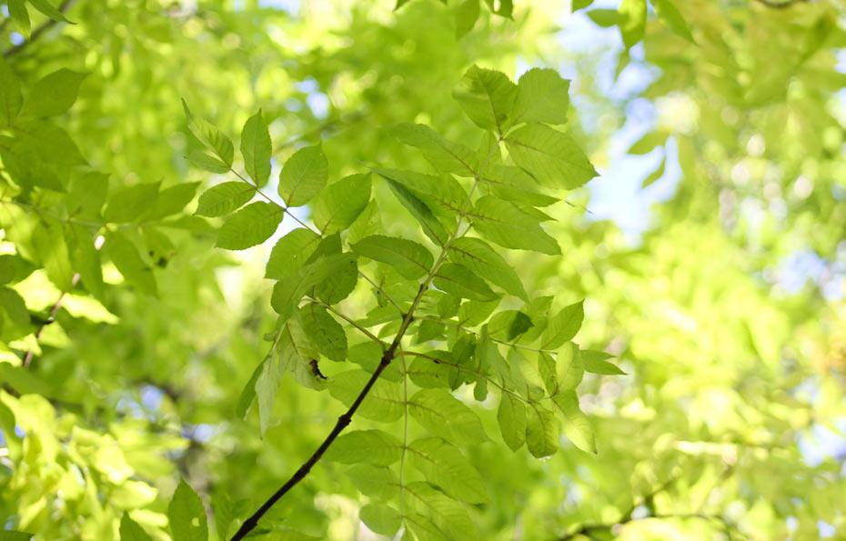 Blätterdach unter einer Esche