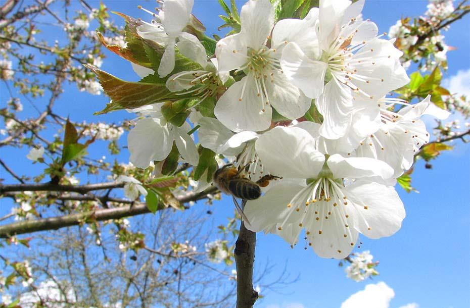 Kirschbaum_Blüte-mit-Biene