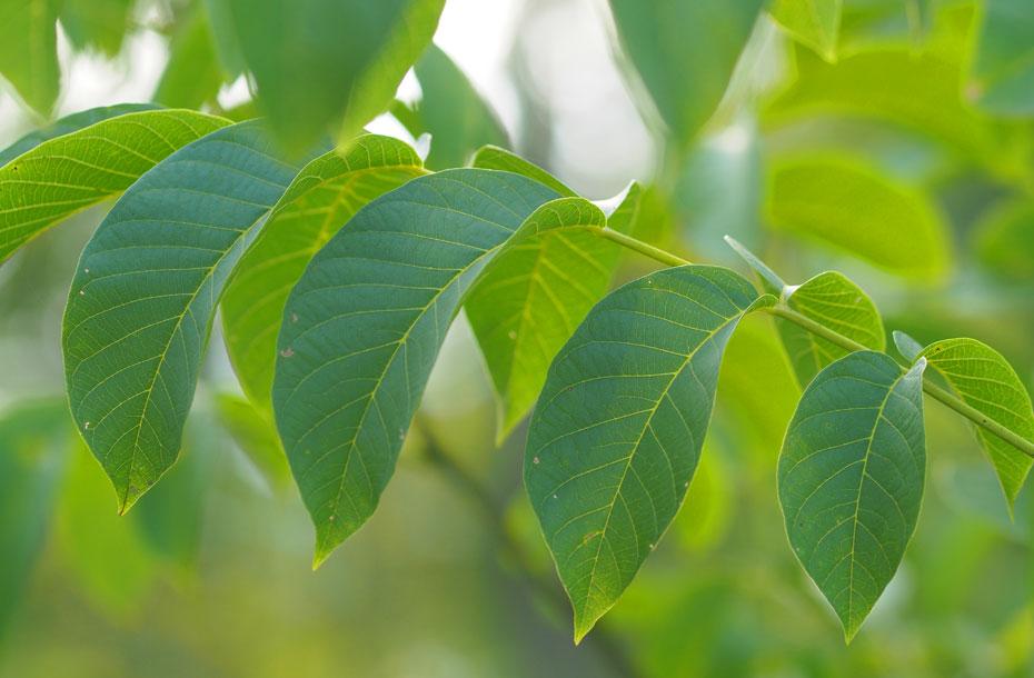 Nussbaumblätter