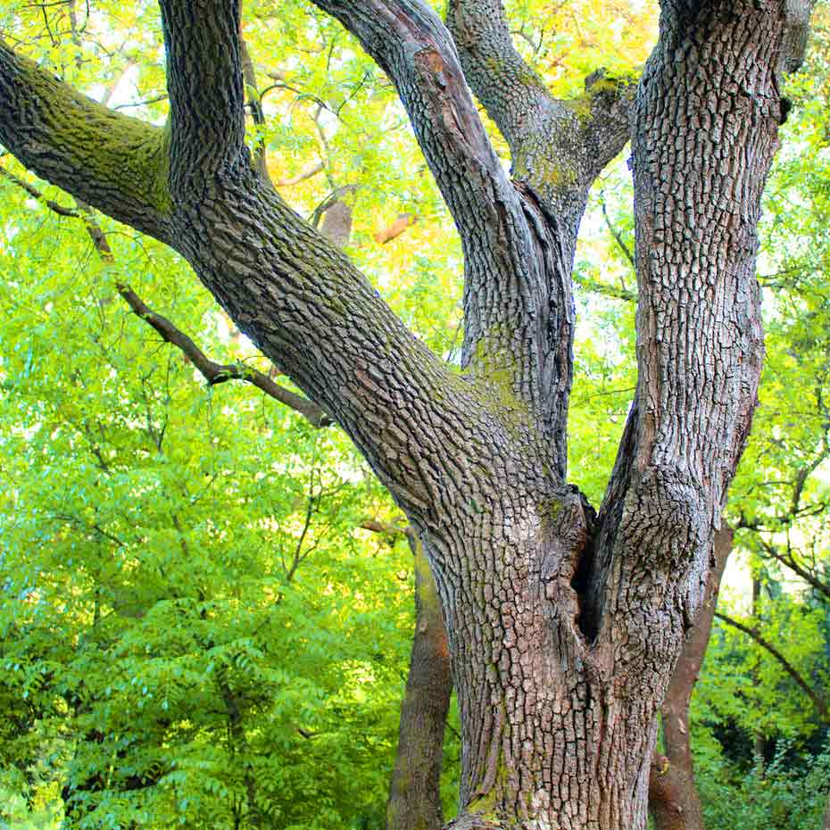Ein verzweigter amerikanischer Nussbaum (Walnussbaum)