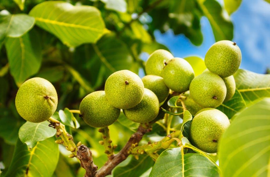 Nüsse eines amerikanischen Walnussbaums
