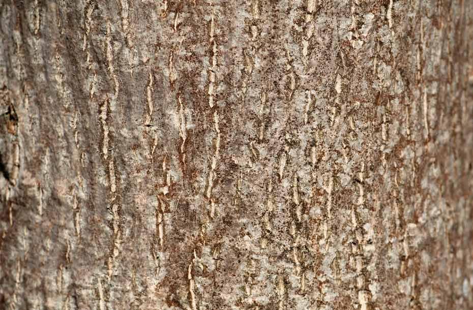 Rinde eines jungen Nussbaums