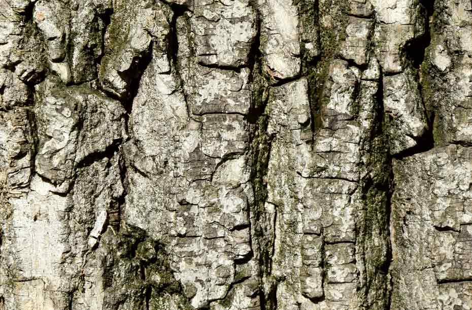 Rinde eines alten Nussbaums