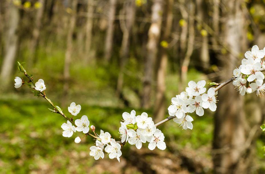 Waldkirschbaum-Blüte