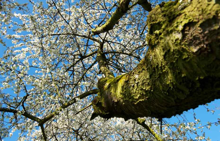 Waldkirschbaum-Blüte_Stamm mit Blüten