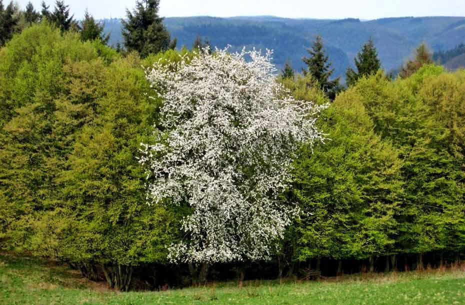 Waldkirschbaum_zwischen_Buchen