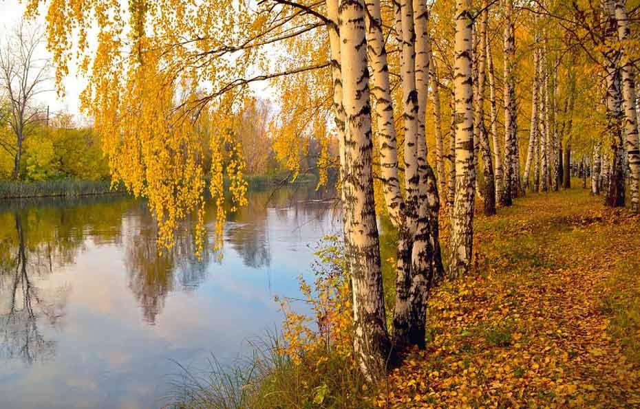 Herbstliche Birken am Flussufer.