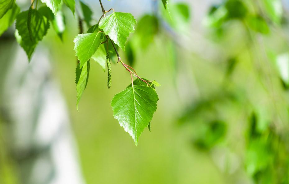 Zarte Birkenblätter mit Blütenstand, im Frühling.