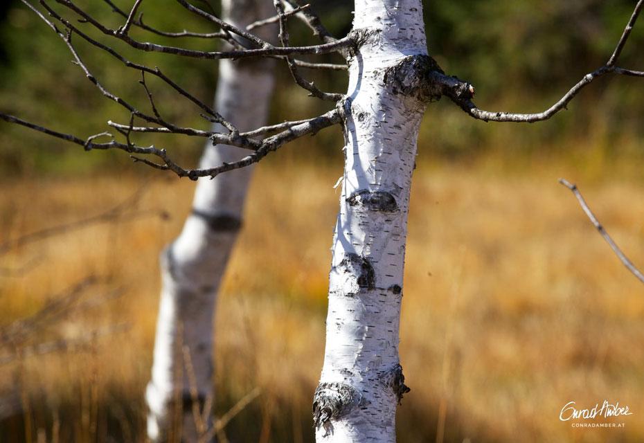 Moorbirken im Herbst