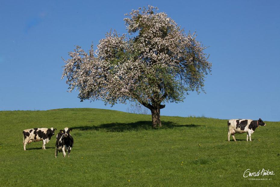 Freistehender Birnbaum auf Wiese mit Kühen.