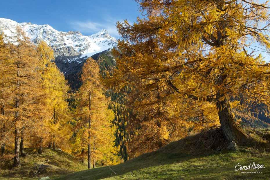 Goldener Herbst, Lärchen im Engadin, GR, Schweiz