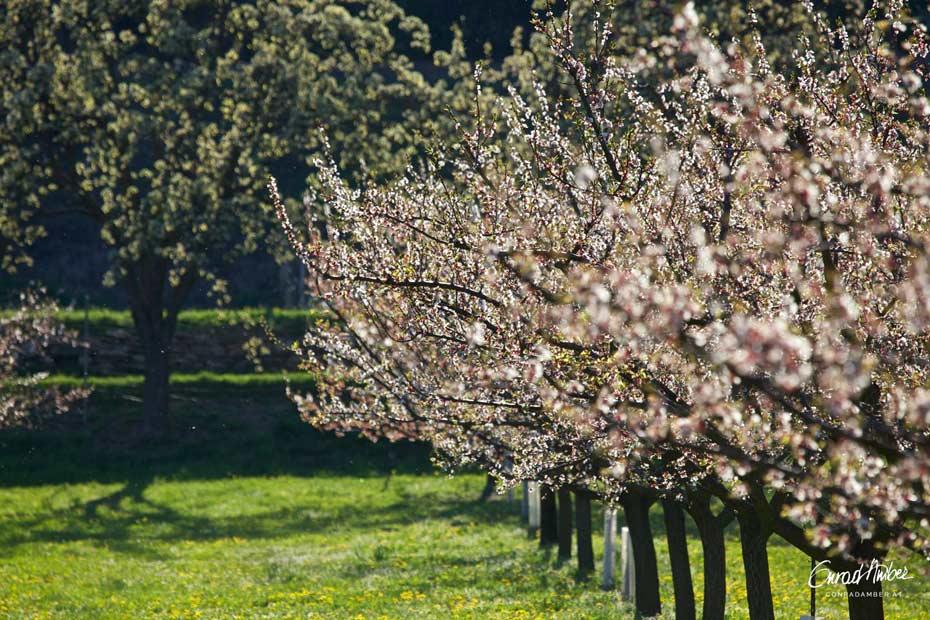Blühende Zwetschgenbäume in Wachau, Österreich