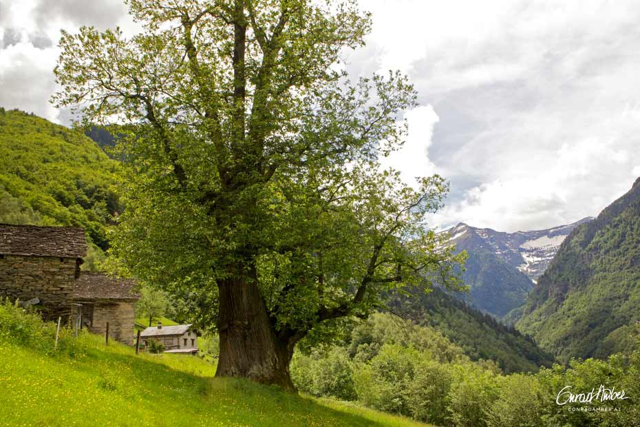 Alte Edelkastanie auf Alpe Monda, Tessin, Schweiz