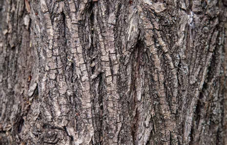 Rinde des Zwetschgenbaums.