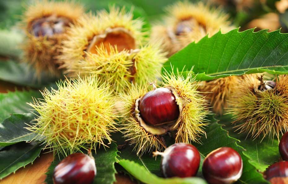 Die Früchte der Edelkastanie sind durch eine stachelige Schale geschütz.