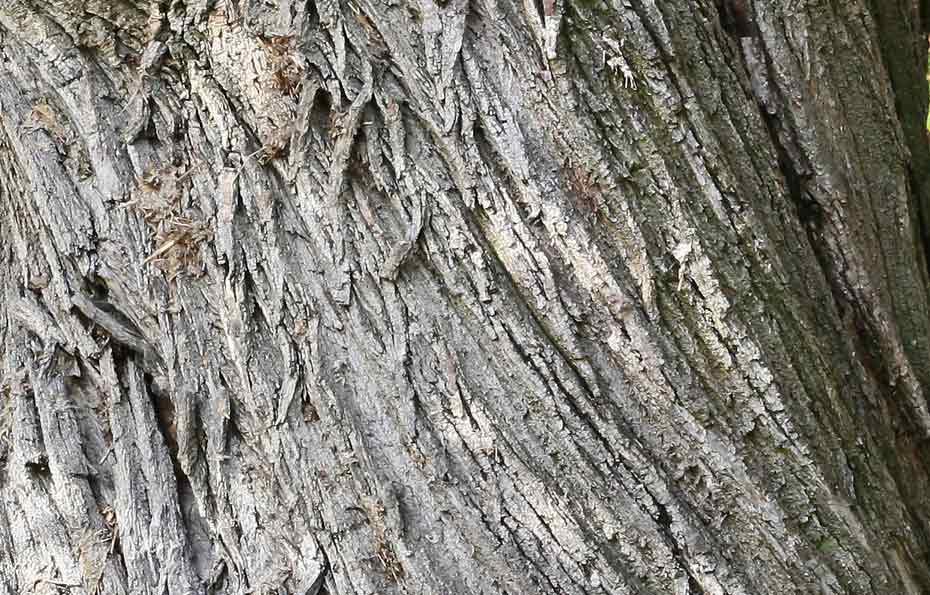 Die Rinde der Edelkastanie (deutlich sichtbarer Drehwuchs).