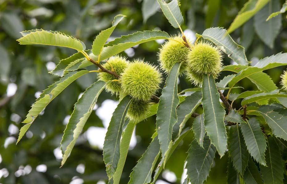 Zweig der Edelkastanie mit Blätter und Früchte.