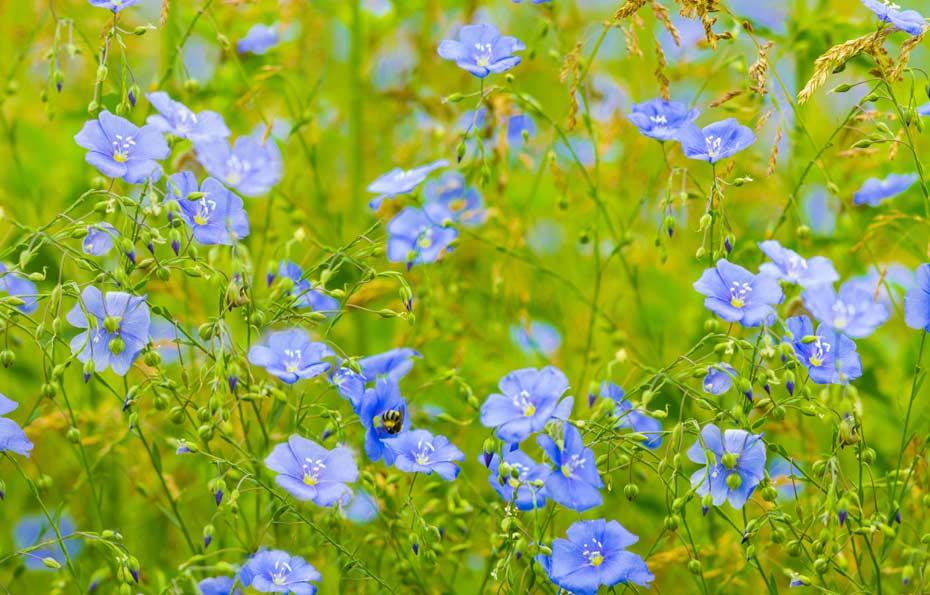 Blühende Flachspflanzen (Leinen)