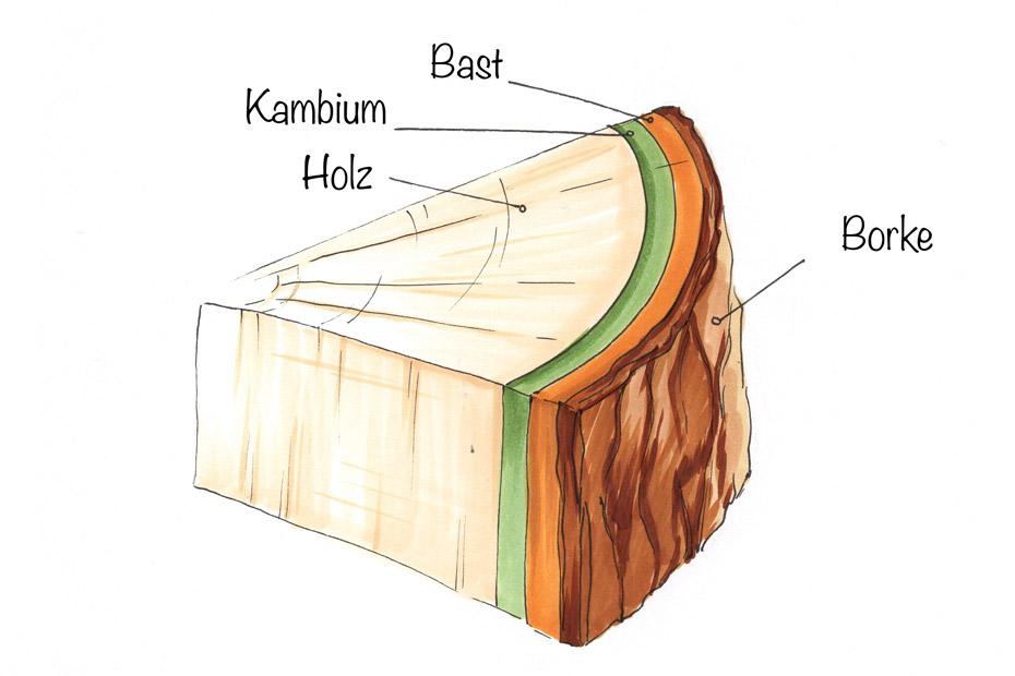 Infoseite_Holz-und-Bäume_Aufbau-Holz
