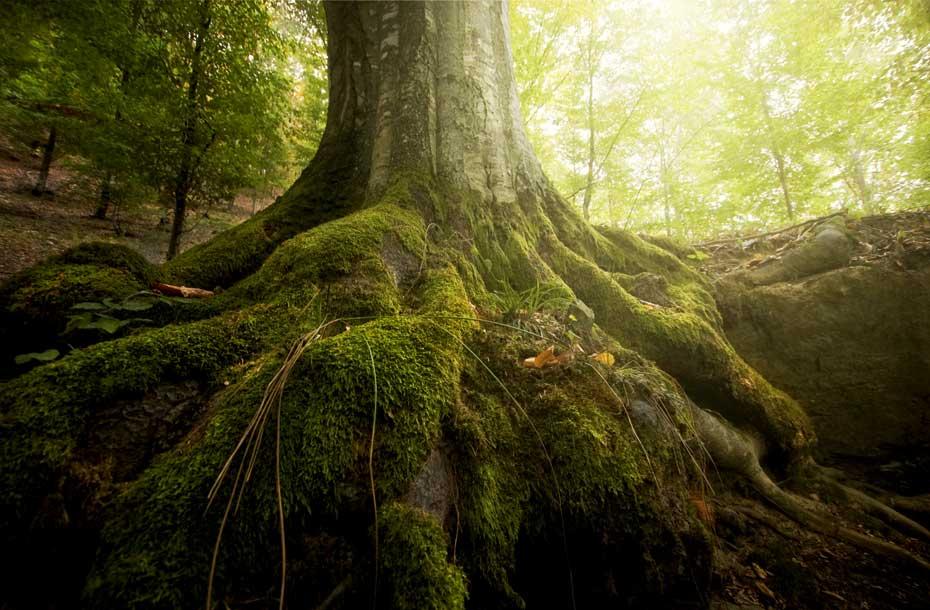 Infoseite_Holz-und-Bäume_Baumrekorde_4