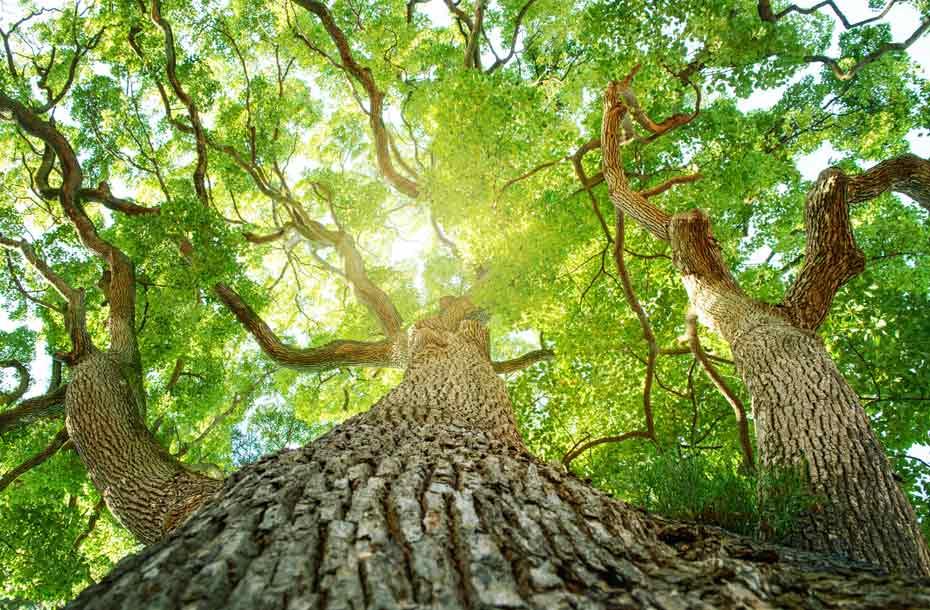 Infoseite_Holz-und-Bäume_Baumrekorde_5