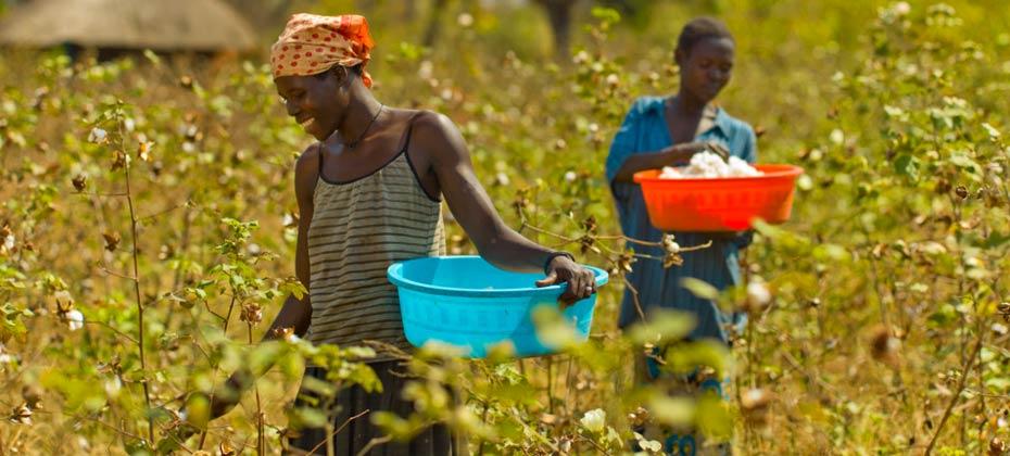Marke-COTONEA_herstellung-herkunftsland-uganda-ernte