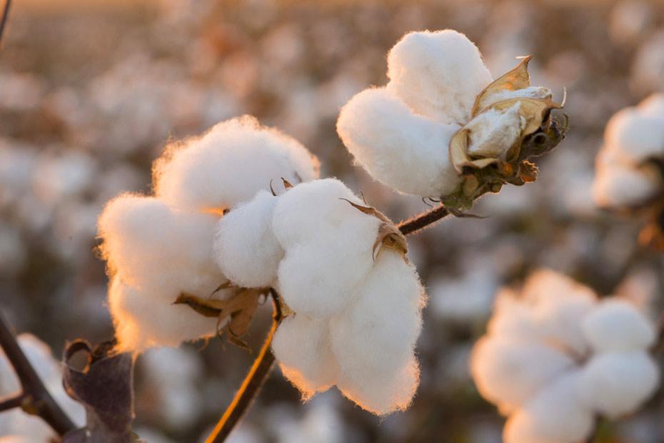 Reife Baumwollkapseln