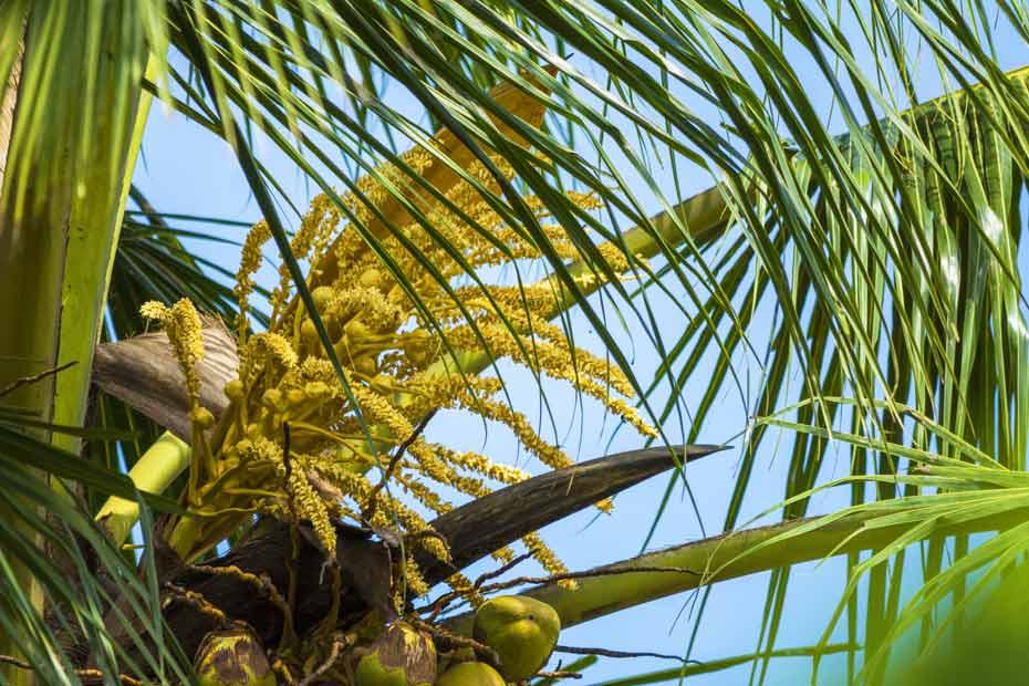 Die Kokospalme trägt das ganze Jahr Früchte, Blütenstände und Nüsse nebeneinander.