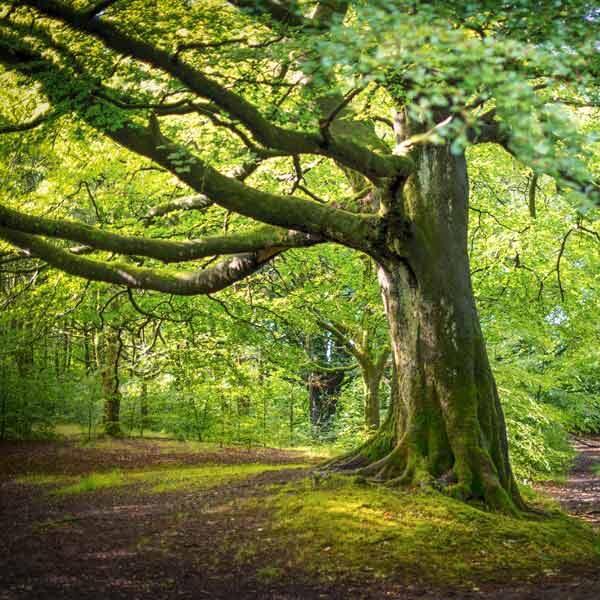Infoseite_Holz-und-Bäume_Buche
