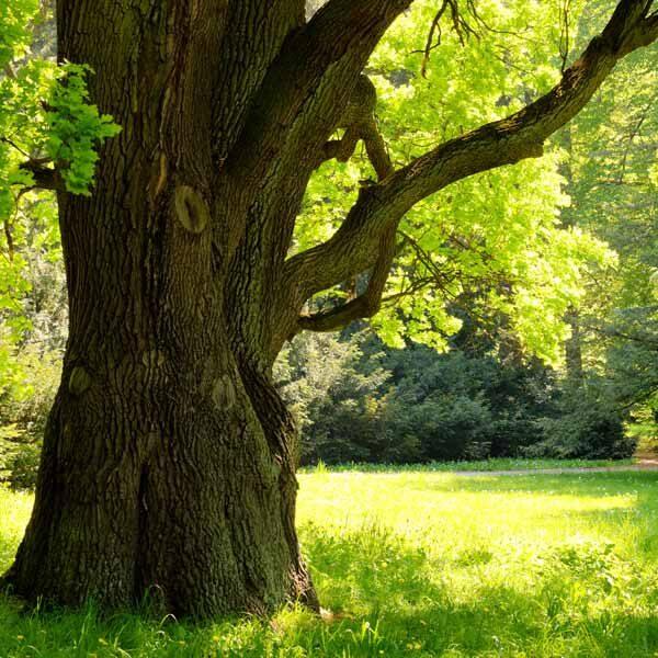 Infoseite_Holz-und-Bäume_Eiche