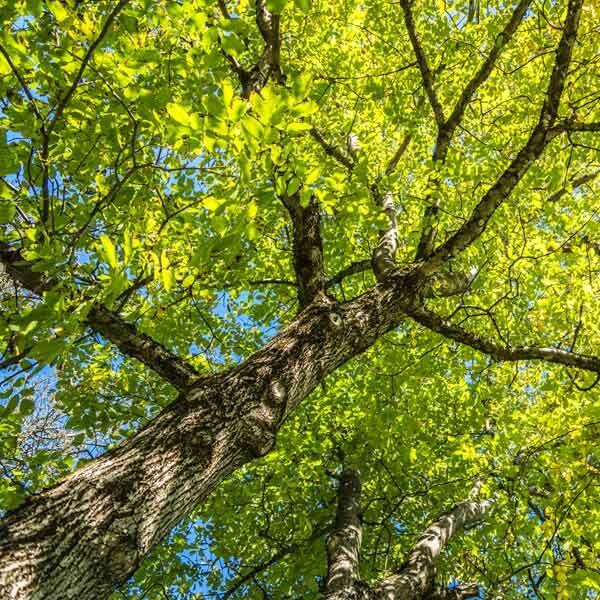 Infoseite_Holz-und-Bäume_Nussbaum