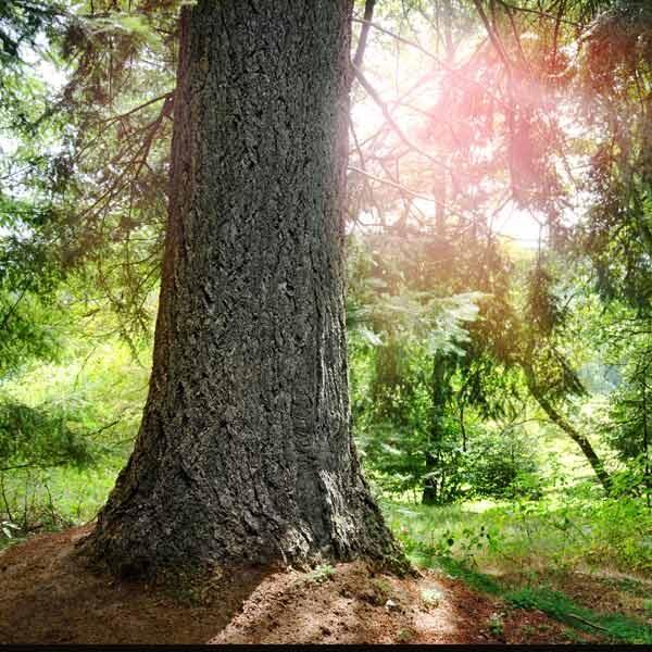 Infoseite_Holz-und-Bäume_Weisstanne